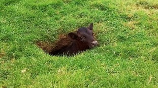 Missing calf survived 9 day sinkhole ordeal