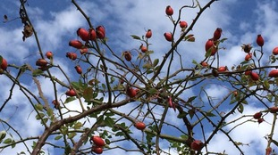 Broken cloud and rose hips in St helens  MARY HINES