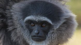 Isle of Man to breed endangered silvery gibbons