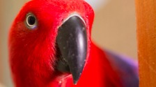 Ripley the parrot was found flying around a building site in Colchester, Essex.