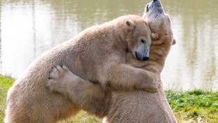 Polar bears Pixel and Victor share a hug at Yorkshire Wildlife Park