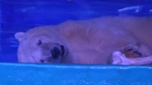 'World's saddest polar bear' offered home at UK zoo
