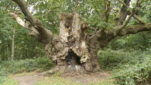 Old Knobbley the 13th century tree in Essex in line for a national award