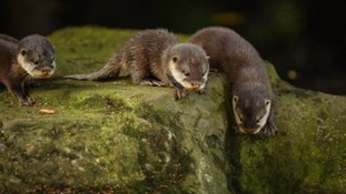 Otter-ly dinky: baby otters learn to swim at Chester Zoo