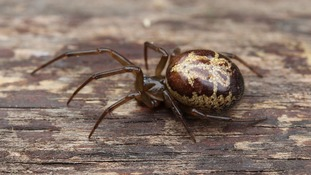 Venomous false widow spider found in Nottingham