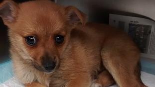 The Pomeranian pup was dumped in a St Helen's park