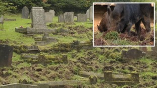 Calls for cull after churchyard is damaged by boar
