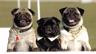 Flat-faced dogs warning: Is your pet affected?