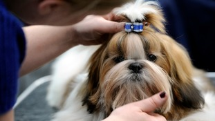 A Shi Tzu being primped at a dog show.