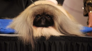This Pekingese dog won several awards.