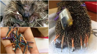 Hedgehog dies because researchers attached so many trackers it couldn't curl into a ball