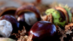 Conkers fall as autumn gets underway