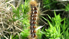 Brown-tailed moth caterpillars are covered in poisonous barbed hairs.
