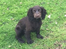 Six-month-old puppy missing from Northamptonshire