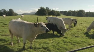 This herd of rare cattle needs a new bull to help it survive
