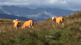 Orange sheep in Cumbria