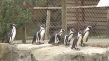 Tragedy as malaria kills zoo's penguin colony
