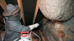 Treating the giant wasps nest