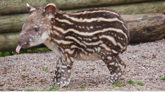 The female Brazilian tapir is just a week old.