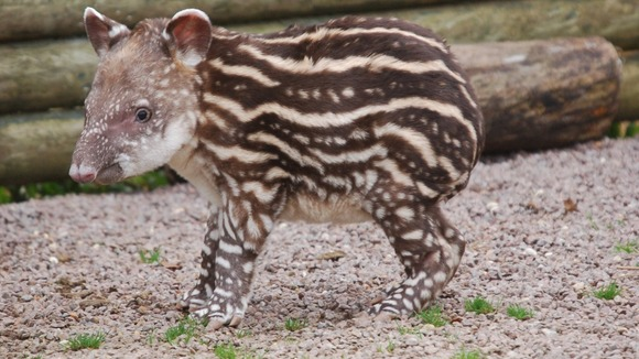 The Brazilian tapir eats leaves, fruits and crops