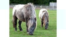 Yogi the Shetland pony