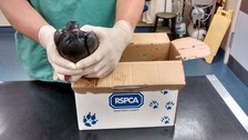 Pigeon rescued and receiving care after landing in oil