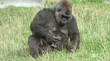 First pictures of four-day-old gorilla