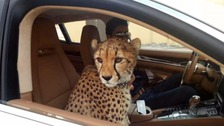 Illegal cheetah trade threatens to 'wipe out species'