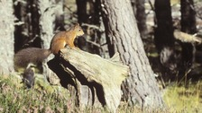 North West haven for red squirrels