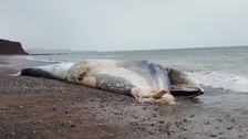 Dead whale being removed from Devon beach