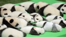 10 sets of panda cubs make heart-melting first appearance