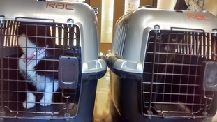 the two cats in pet carriers