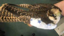 Police investigate shooting of rare falcon