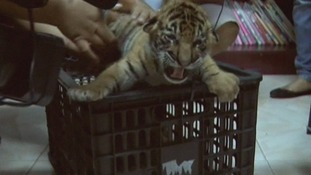 A tiger cubs growling on a crate