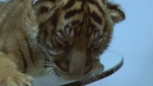 One of the tiger cubs found on the truck driver's back seat