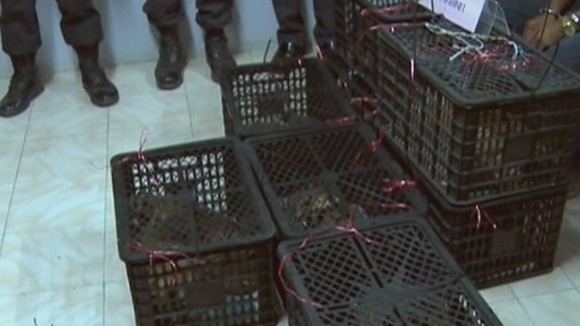 The tiger cubs packed into crates