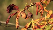 Anglezarke conkers  BRIAN FISHER