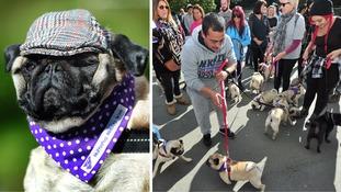 Pug-tastic! Dozens of pugs take part in charity walk