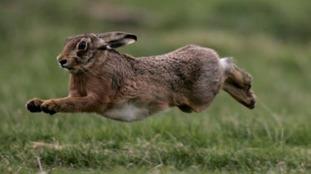 Hare in full flight