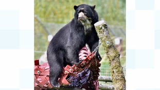 Bear in hammock