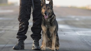 Police dog Finn is in a serious condition after being stabbed.