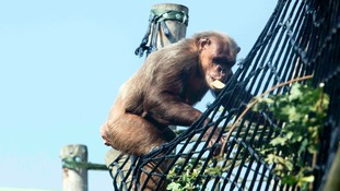 A gift from the skies for the apes at Twycross Zoo