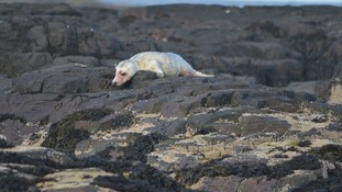 The first Farne Island seal pup of 2016