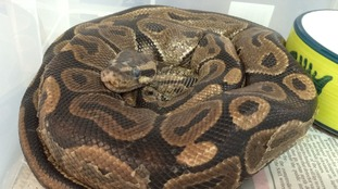 Three-foot-long injured python found in field