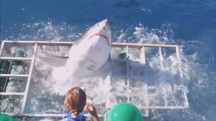 Terrifying moment a great white shark breaks into cage with diver