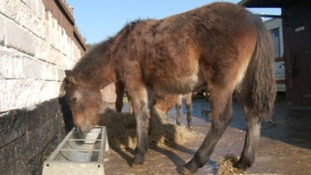 Homes sought for Dartmoor ponies saved from slaughter