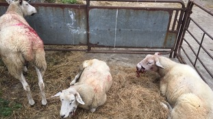 Appeal after six sheep killed in horrific dog attack