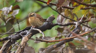 The Siberian Accentor spotted in Hendon