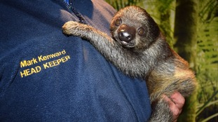 PICTURES: Orphaned baby sloth doing well at Drusillas
