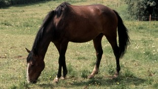 Cutting off a tail is often seen as a mark that a horse is about to be stolen.